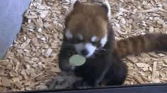 """""""Aw yessssss, it's crunchin' and munchin' time.""""   This Red Panda Just Wants To Eat These Apple Slices So Bad"""