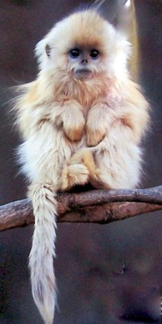 The golden snub-nosed monkey (Rhinopithecus roxellana) is an Old World monkey in the Colobinae subfamily. It is endemic to an area in China.