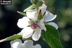 Althaea officinalis - Eibisch
