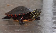 Painted Turtle Pic taken by Tom at Rose lake