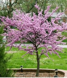Redbud Tree - southern Native - early Spring flowers--one of my faves Deciduous Trees, Trees And Shrubs, Flowering Trees, Trees To Plant, Redbud Trees, Eastern Redbud Tree, Early Spring Flowers, Blooming Trees, Tree Seeds