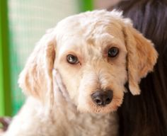 Josi is an adoptable Poodle Dog in Los Angeles, CA. Filthy and frightened, Josi was crammed into a tiny box with her sister and left outside the South Los Angeles Shelter. She was terribly matted and ...