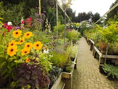 Laburnum Hardy Plant Nursery at Barton upon Humber - A fab place to go shopping in the summer!