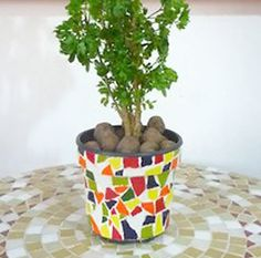 Plante sua muda normalmente