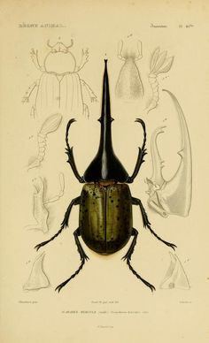 Insects: v. 6-7, pt. 1 Atlas - Le règne animal distribué d'après son organisation, -17 volume French natural history w/intro by Georges Cuvier, pub 1836 to 1849