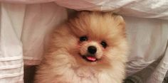 29 Quirky Pomeranian Traits Every Pom Parent Will Recognise