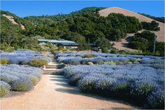 matanzas creek lavender