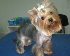 Yorkie haircuts for males and females + pictures) - Yorkie. Teacup Yorkie, Yorkie Puppy, Yorkie Cuts, Yorkie Hairstyles, Puppy Haircut, Yorkshire Terrier Haircut, Yorky, Terrier Breeds, Dog Rooms