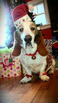 Mr. Copper, the Christmas Basset Hound