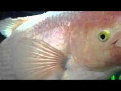 1000 images about disease on fish video from majestic for Fish bacterial infection