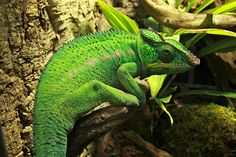 Reptiles Super Cool Stuff, Chameleons, Reptiles, Photography, Animals, Photograph, Animales, Animaux, Chameleon