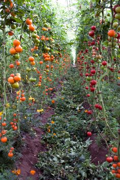 A nagy kerti trükk, ezért szórj to­jás­hé­jat a pa­ra­di­csom köré Growing Tomatoes In Containers, Grow Tomatoes, Vertical Vegetable Gardens, The Secret Garden, Tomato Garden, Tomato Vine, Growing Herbs, Edible Garden, Dream Garden