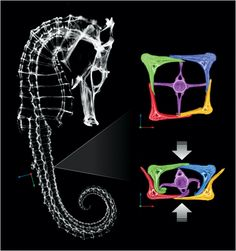 A seahorse's tail can be compressed to half its normal size without lasting damage. See how scientists will use this squishable armor to build an awesome robotic arm: http://pops.ci/14B2RCV