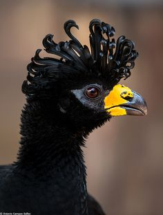 The Bare-faced Curassow, Crax Fasciolata, is a species of bird in the Cracidae family, the chachalacas, guans, curassows, etc. It is found in eastern-central and southern Brazil, Paraguay, and eastern Bolivia and extreme northeast Argentina, in the cerrado, pantanal, and the southeastern region of the Amazon Basin. Its natural habitats are subtropical or tropical dry forests and subtropical or tropical moist lowland forests - photographed by Octavio Campos Salles