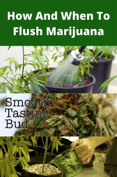 How And When To Flush Marijuana for extra smooth, healthy buds  Marijuana Project Ideas Project Difficulty: Simple MaritimeVintage.com