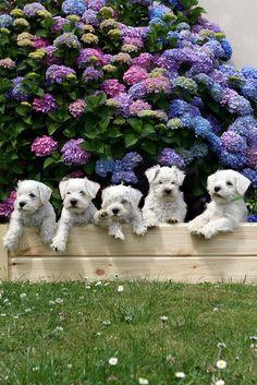 White miniature Schnauzer pups
