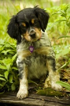 French Brittany Spaniel tricolor puppy. My next dog :)
