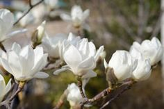how to take care of a magnolia tree