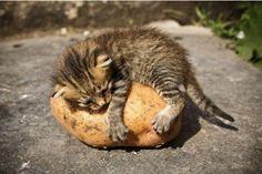 Kitten loves potato.