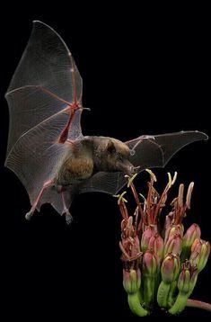 Fermo immagine di un Pipistrello. Fantastica foto!
