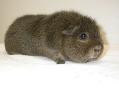 There are many different breeds of guinea pigs from long haired to shorter haired varieties. Here is ad Different Types of Guinea Pig Breeds. Baby Guinea Pigs, Guinea Pig Care, Pet Pigs, Guinea Pig Breeding, Guniea Pig, Cute Piggies, Pet Rabbit, Cute Creatures, Pet Store