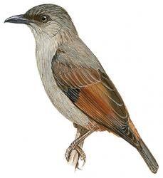 Rusty-winged Starling (Aplonis zelandica)
