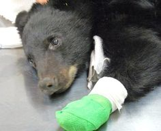 """2012-9-18 - Boise – A black bear cub rescued from a fire in the Idaho backcountry after suffering second-degree burns on all four of its paws has been moved to a wildlife sanctuary outside the mountain resort town of McCall and is expected to make a full recovery, officials said Monday.  The bear nicknamed """"Boo Boo"""" is being housed in a 2-acre enclosure with another cub and is doing very well, said Linda DeEulis, director of the Snowdon Wildlife Sanctuary..."""