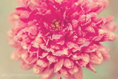flower photography red home decor macro fine art nature photography mums Deep Red Chrsyanthemums with Raindrops by eireanneilis