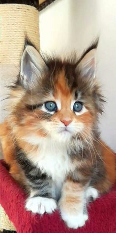 Cute Kittens Maine Coon Cat Wallpaper Added on , Tagged : Cute Kittens, Maine Coon Cat at Cute Kittens Pictures Kittens And Puppies, Cute Cats And Kittens, Kittens Cutest, Cute Puppies, Funny Kittens, Cutest Puppy, Kittens Playing, Cute Baby Cats, Cute Funny Animals