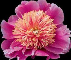Peony 'Pink Giggles' (Paeonia lactiflora)