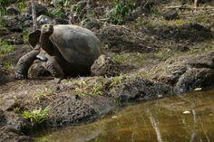 As tartarugas-gigantes de Galápagos são ícones do arquipélago - foto: Fábio Paschoal