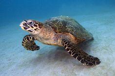 Eretmochelys imbricata Hawksbill turtle Puerto Galera, Philippines IMG_8324