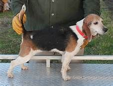 beagles - Yahoo Image Search Results