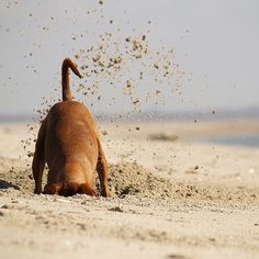 dachshund digging in sand at beach. Baby Dogs, Dogs And Puppies, Doggies, Dachshunds, Beagles, I Love Dogs, Cute Dogs, Digging Dogs, Funny Animals