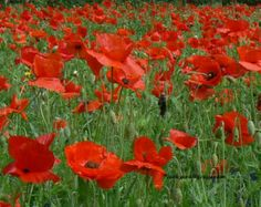 Red Poppy seeds - TX native wildflower seeds