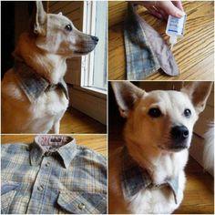 27 SUPER idées bricolage pour chats et chiens. Ici Col de chemise recyclé pour chien gentleman farmer.