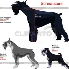 Schnauzer - breeds   ...........click here to find out more     http://googydog.com