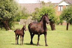 frisian horse and foal