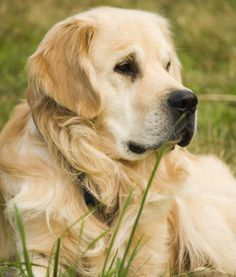 10 Cool Facts About Golden Retrievers