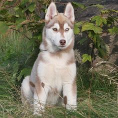 "Red/White Siberian Husky with Bi-eyes. Names I'd consider: Yukon, Indiana Jones ""Indy"", and Timber.