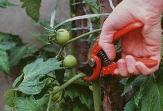 Comment tailler les légumes en été © Rustica