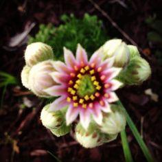 Hens n Chicks flower