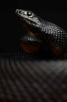 Scorpius's other snake Hades #snakes #reptiles #topanimals