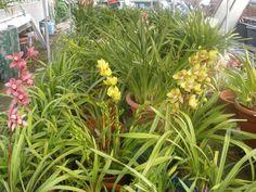 O meu orquídario