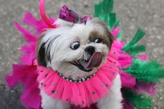shih tzu on Mardi Gras! Funny Dog Pictures, Animal Pictures, I Love Dogs, Cute Dogs, Pet Parade, Shih Tzu Dog, Shih Tzus, Pictures Of The Week, Dog Friends