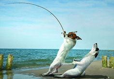 Jack Russells Bodgit and Scarper get into all kinds of scrapes as they go FISHING Parson Jack Russell, Jack Russell Puppies, Parson Russell Terrier, Jack Terrier, Toy Fox Terriers, I Love Dogs, Cute Dogs, Funny Animal Pictures, Funny Animals