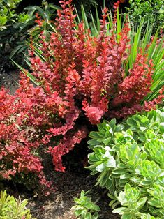 The award winning Orange Rocket Barberry from the Southern Living Plant Collection provides bold, color-changing, scarlet-red foliage from Spring to Fall! Low Maintenance Landscaping, Landscaping Plants, Front Yard Landscaping, Landscaping Ideas, Townhouse Landscaping, Backyard Plants, Outdoor Landscaping, Outdoor Pool, Orange Rocket Barberry