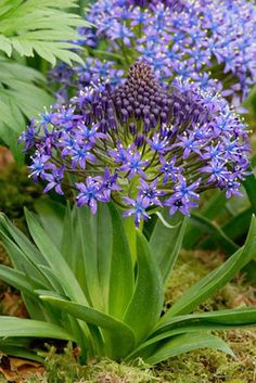 Scilla Siberica - Common name:Siberian Squill, Squill - Starry porcelain blue flowers are suspended from slender stems like dangling bells with strap-like leaves. Scilla Siberica is great planted in groups. 15 bulbs per bag. Garden Shrubs, Shade Garden, Tall Flowers, Blue Flowers, Rainbow Garden, Natural World, Perennials, Planting Flowers, Lush