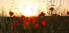 red poppies in the wheat fields, evening scenery - stock photo Poppy Images, Free Photographs, Wheat Fields, Red Poppies, Scenery, Poster, Stock Photos, Illustration, Artist
