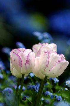 tulipanes blancos y rosa